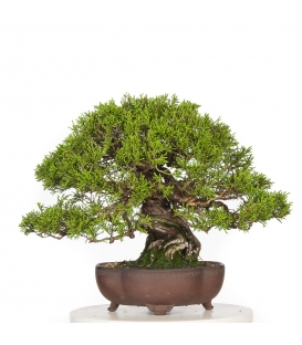 Juniperus Itoigawa BO-JUN16-04