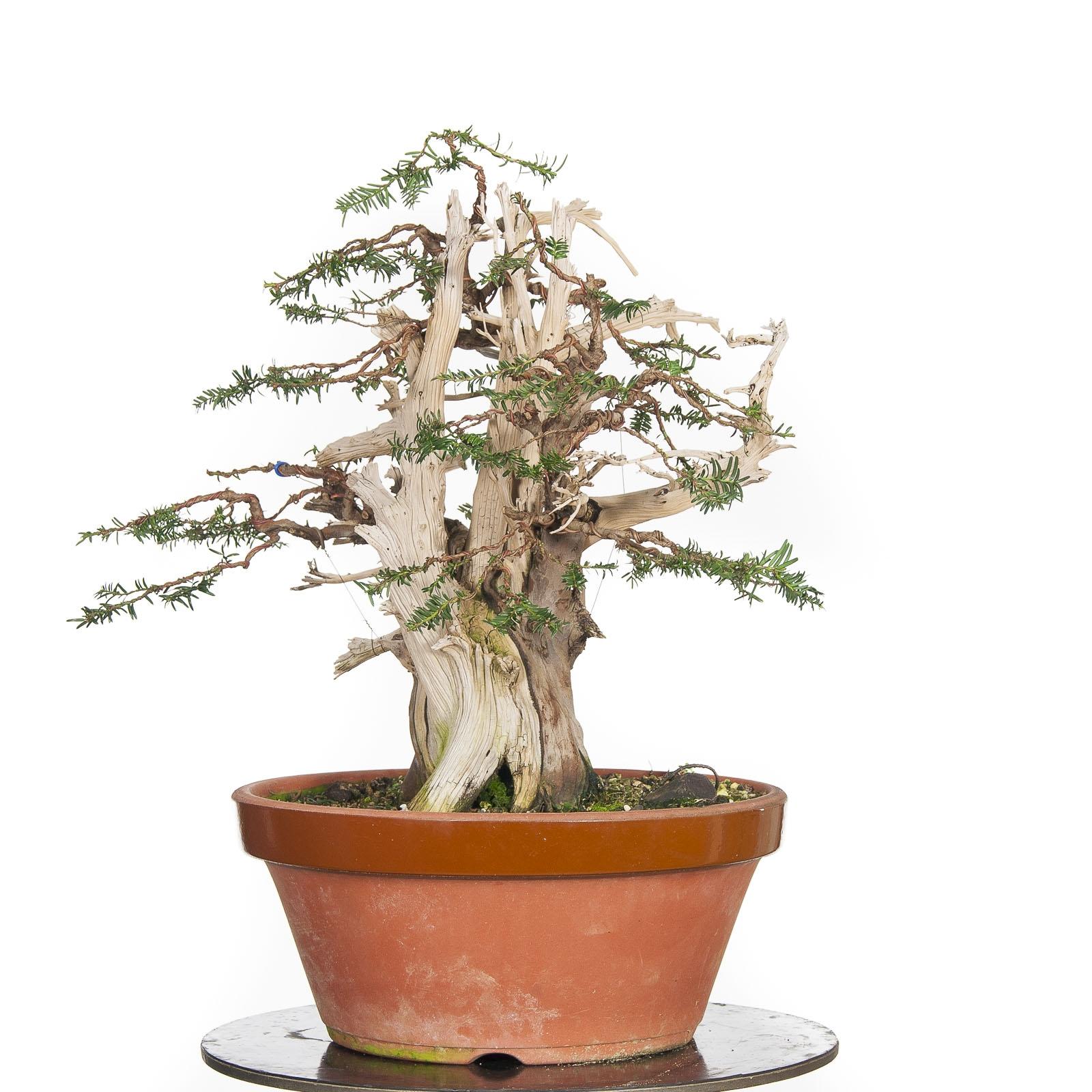 Taxus Baccata BO-TEJ17-04