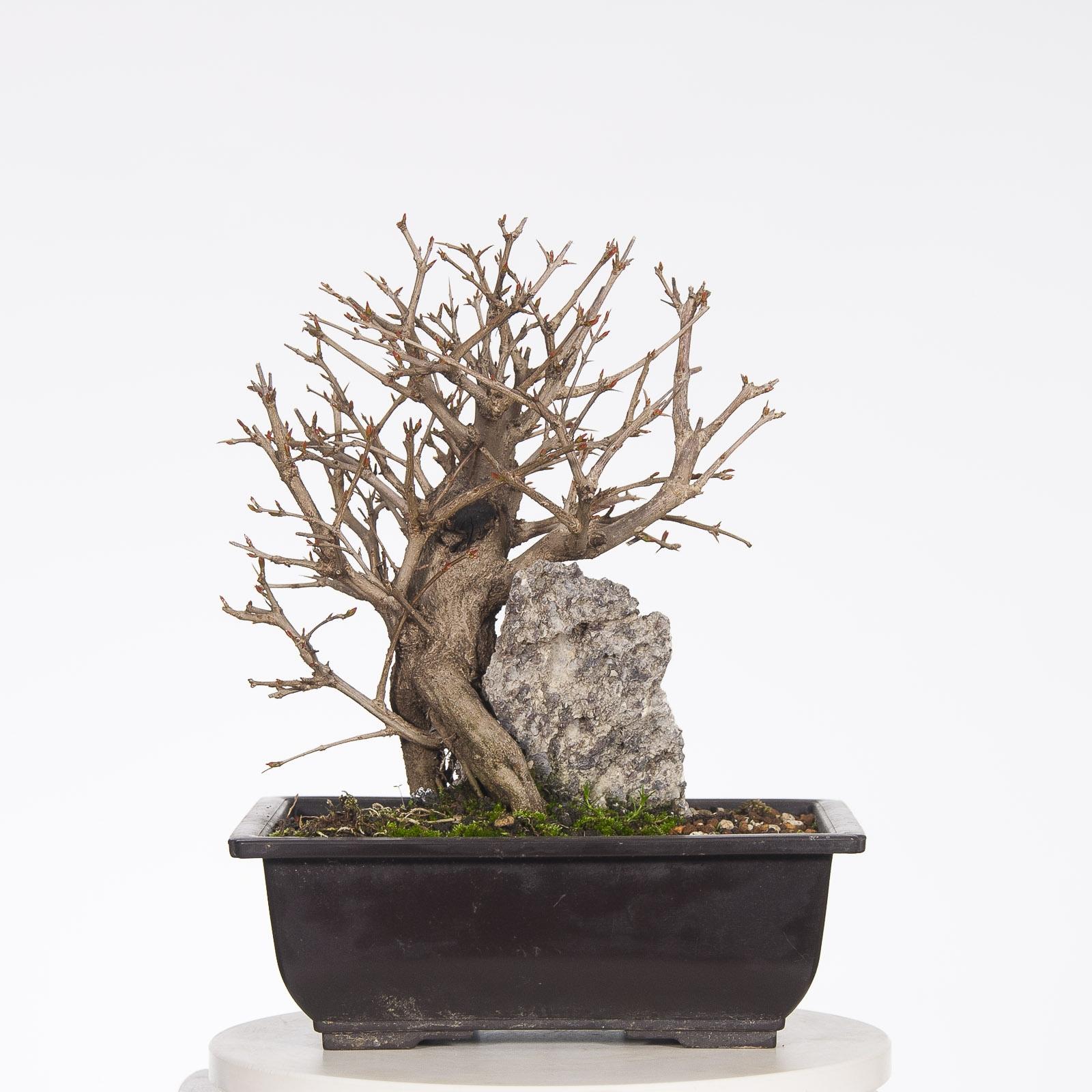Granado Nejikan BO-GRA17-01