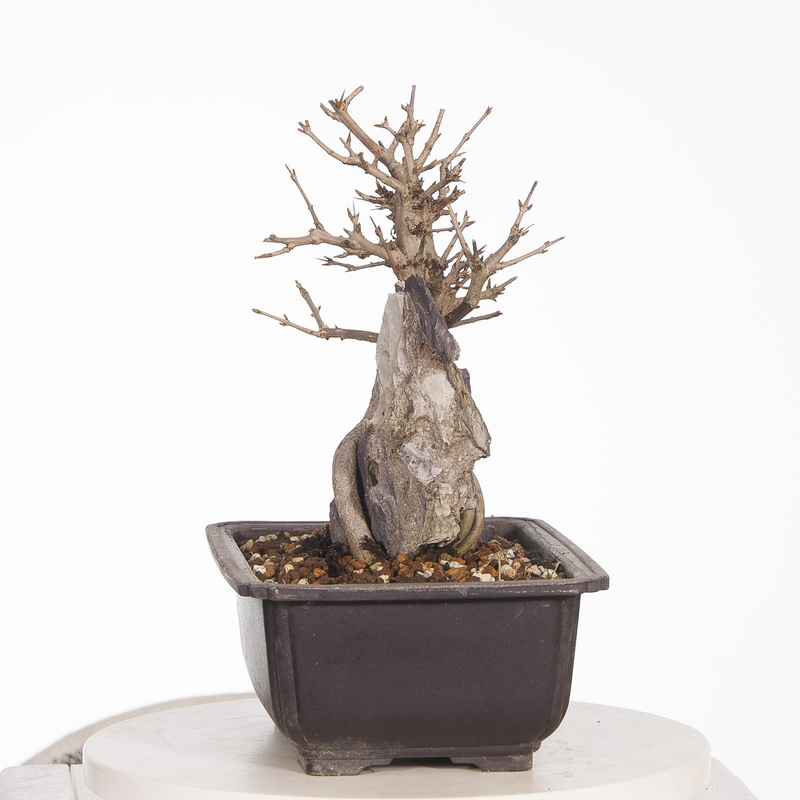 Granado Nejikan BO-GRA17-08