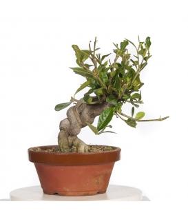 Gardenia PR-GAR17-02