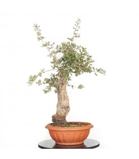 Cork oak 17M079