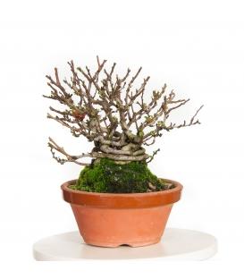 Chaenomeles japonica