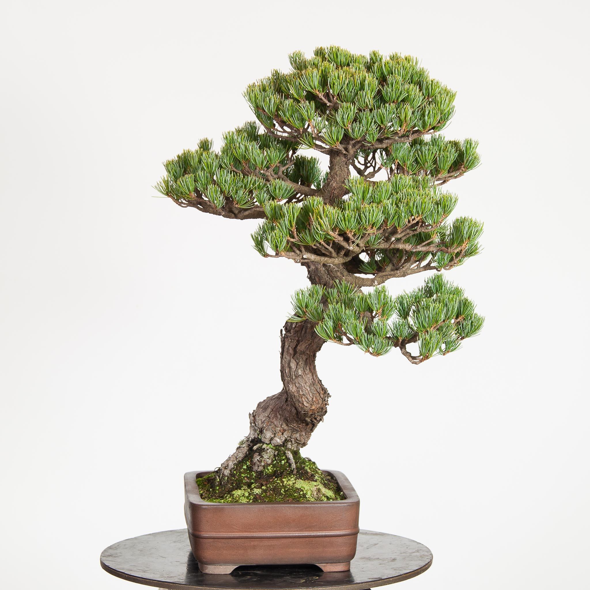 Pinus Pentaphylla BO-PIN15-01