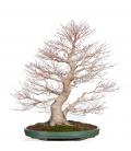 Acer Palmatum Yamamomiji