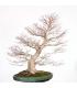 Acer Palmatum BO-PAL17-08