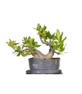 Pittosporum 15M172