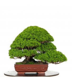 Juniperus Itoigawa BO-JUN16-07