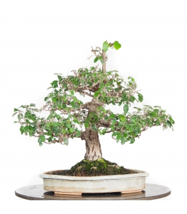 Bonsai mercadillo