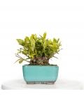 Gardenia Jasminoides BO-GAR17-02