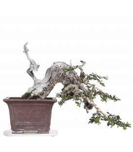 Bonsai de Acebuche