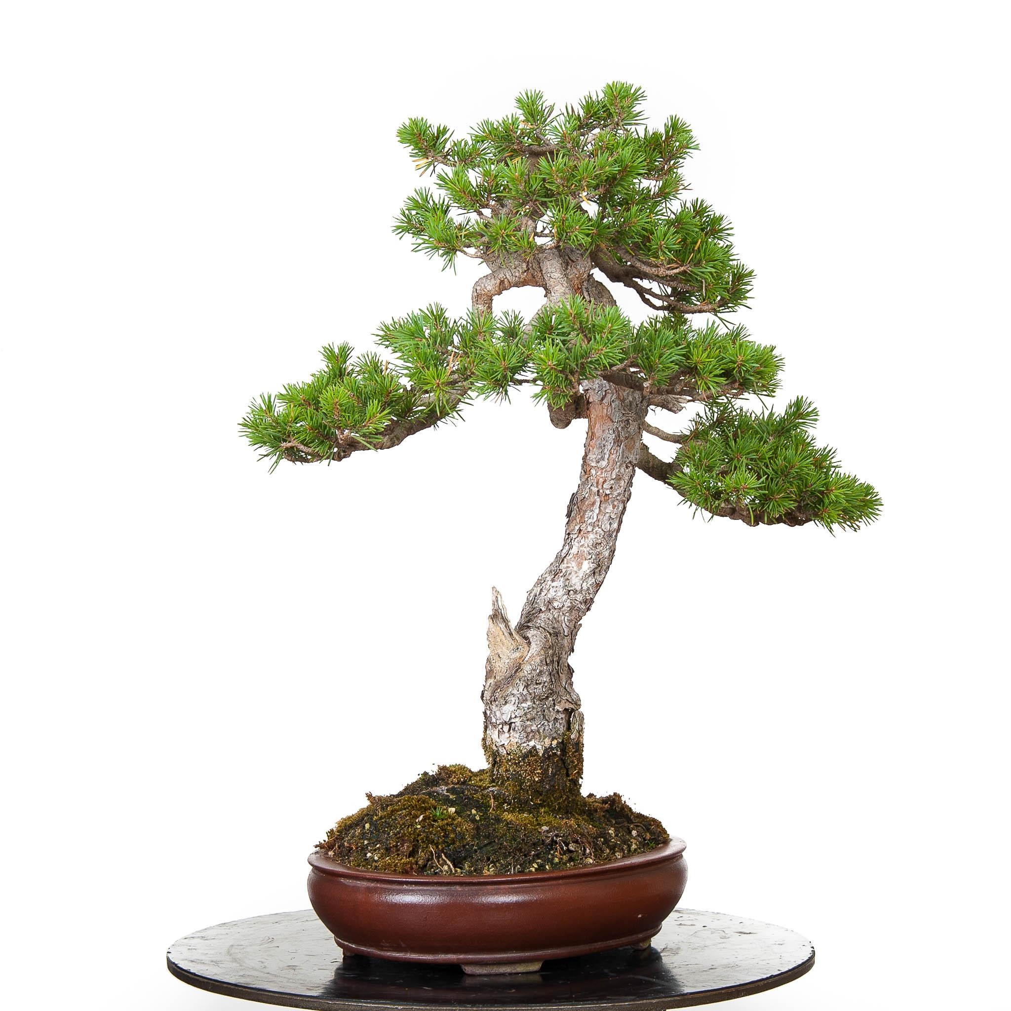 Pinus Pentaphylla