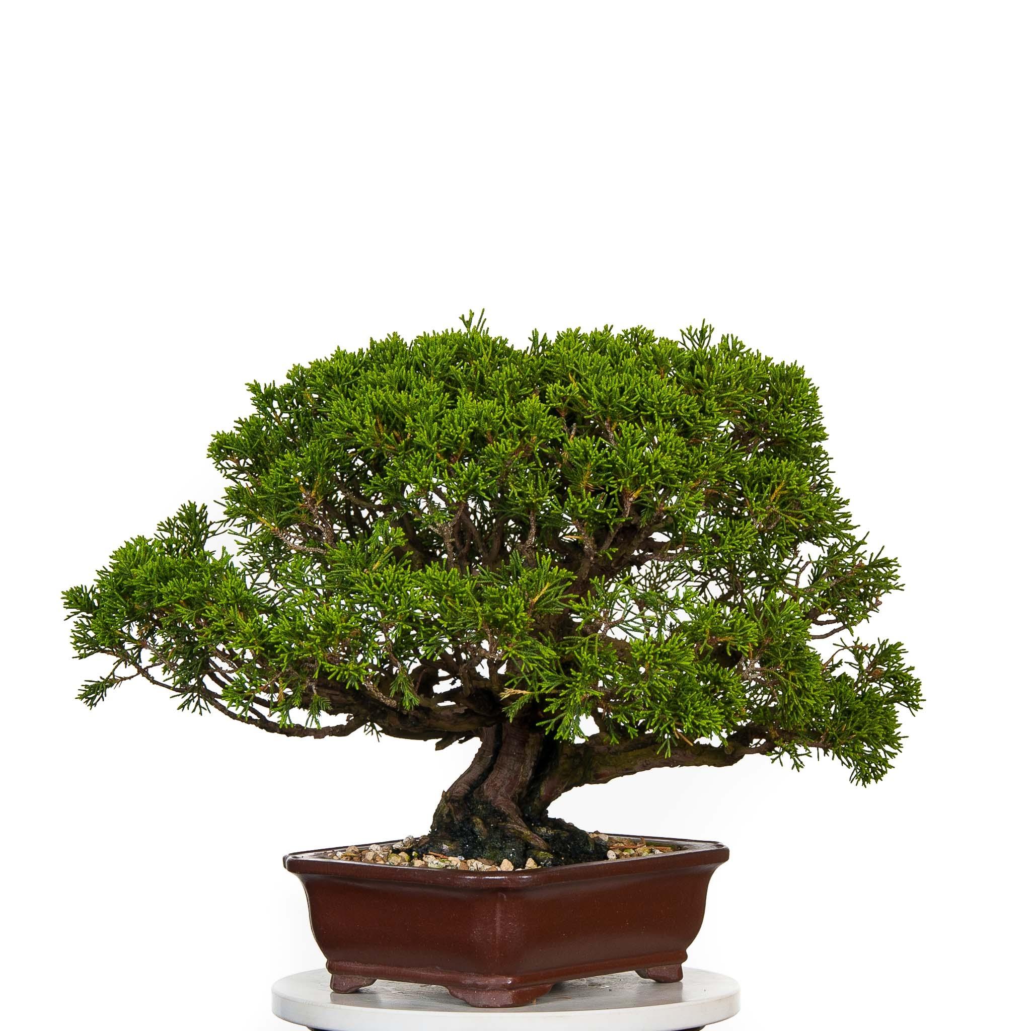 Juniperus Itoigawa BO-JUN15-01