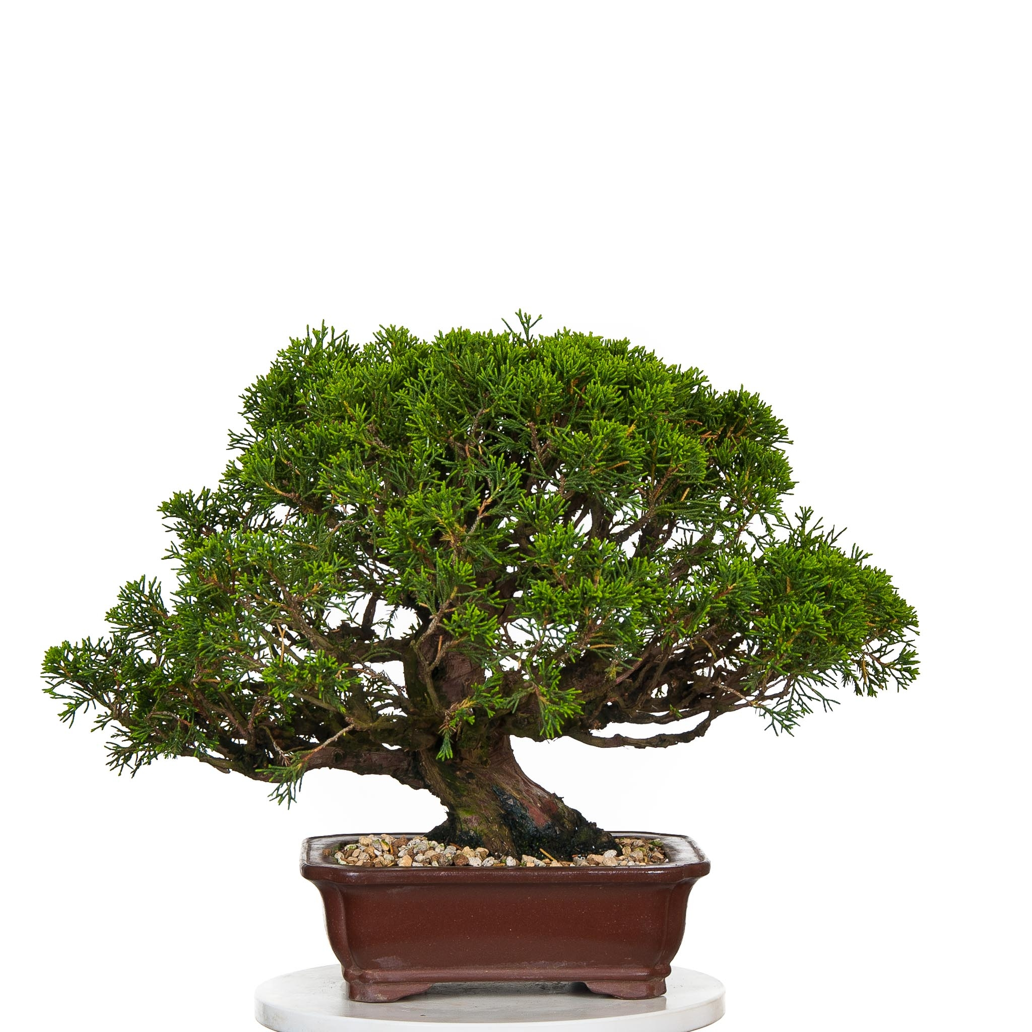 Juniperus Itoigawa BO-JUN15-01