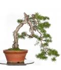 Pinus Sylvestris PR-PIN-001