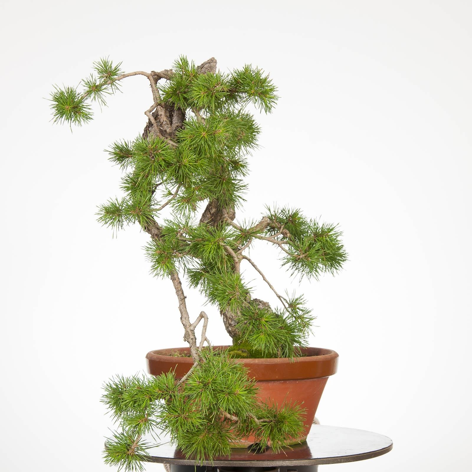 Prebonsai Olea Europaea Sylvestri (Ullastre Mallorquin) PR-U-001