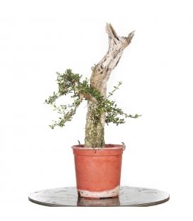 Olive Tree - Ullastre 15M292