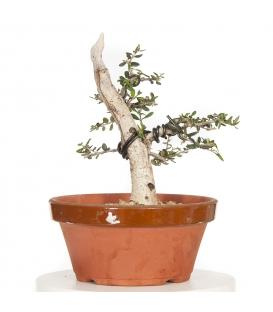 Olive Tree 16M016