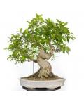 Ficus Retusa 16M147