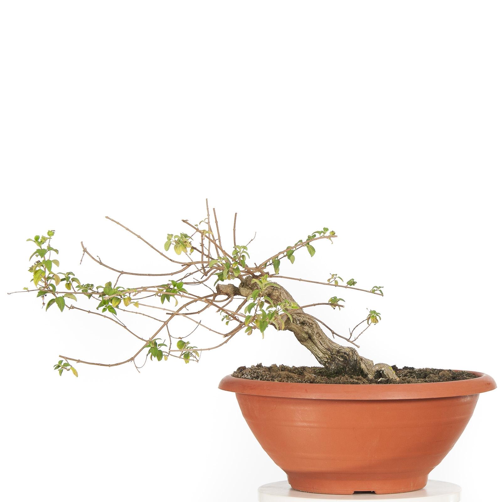 Juniperus 16M157