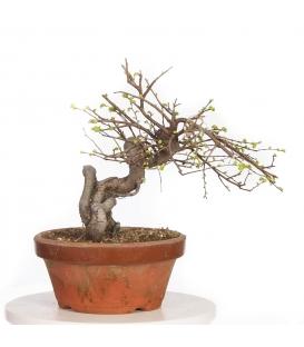 Olmo Parvifolia PR-OLM-001