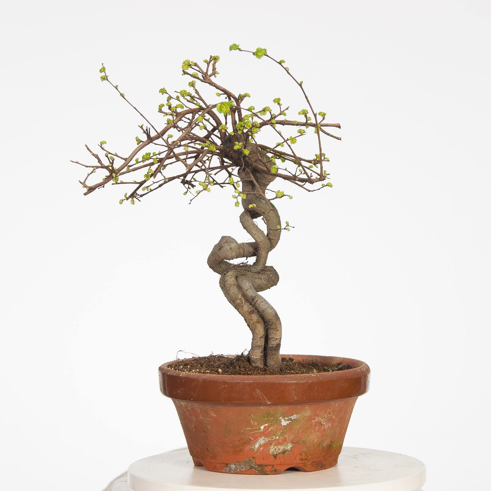 Olmo Parvifolia PR-OLM-002