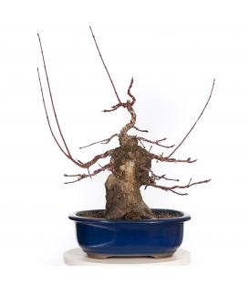 Acer Palmatum Shojo