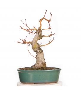 Acer Palmatum Kihachi