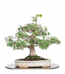 Mercato delle pulci bonsai