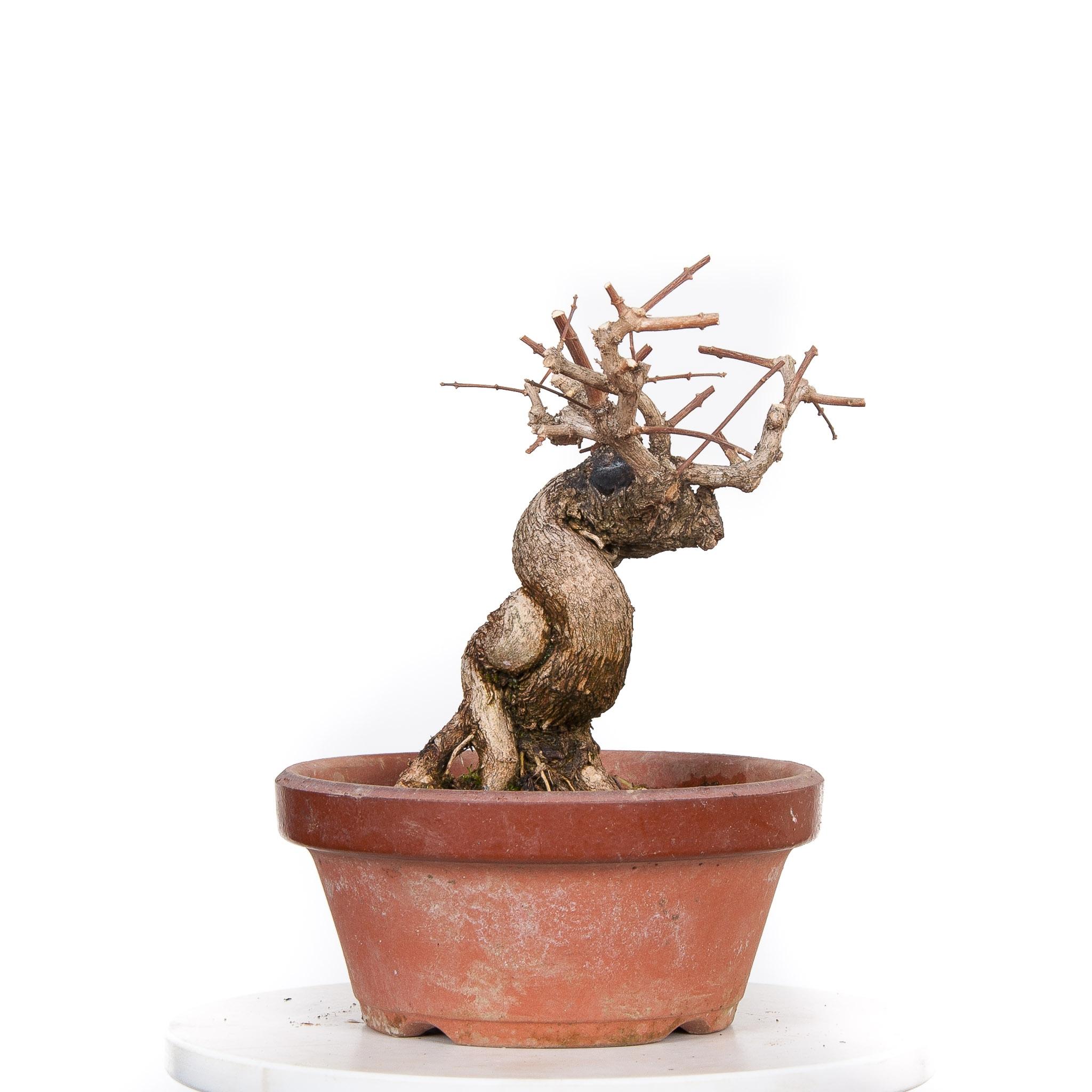 Acer Palmatum Nioi (Premna Japonica) BO-PAL17-02