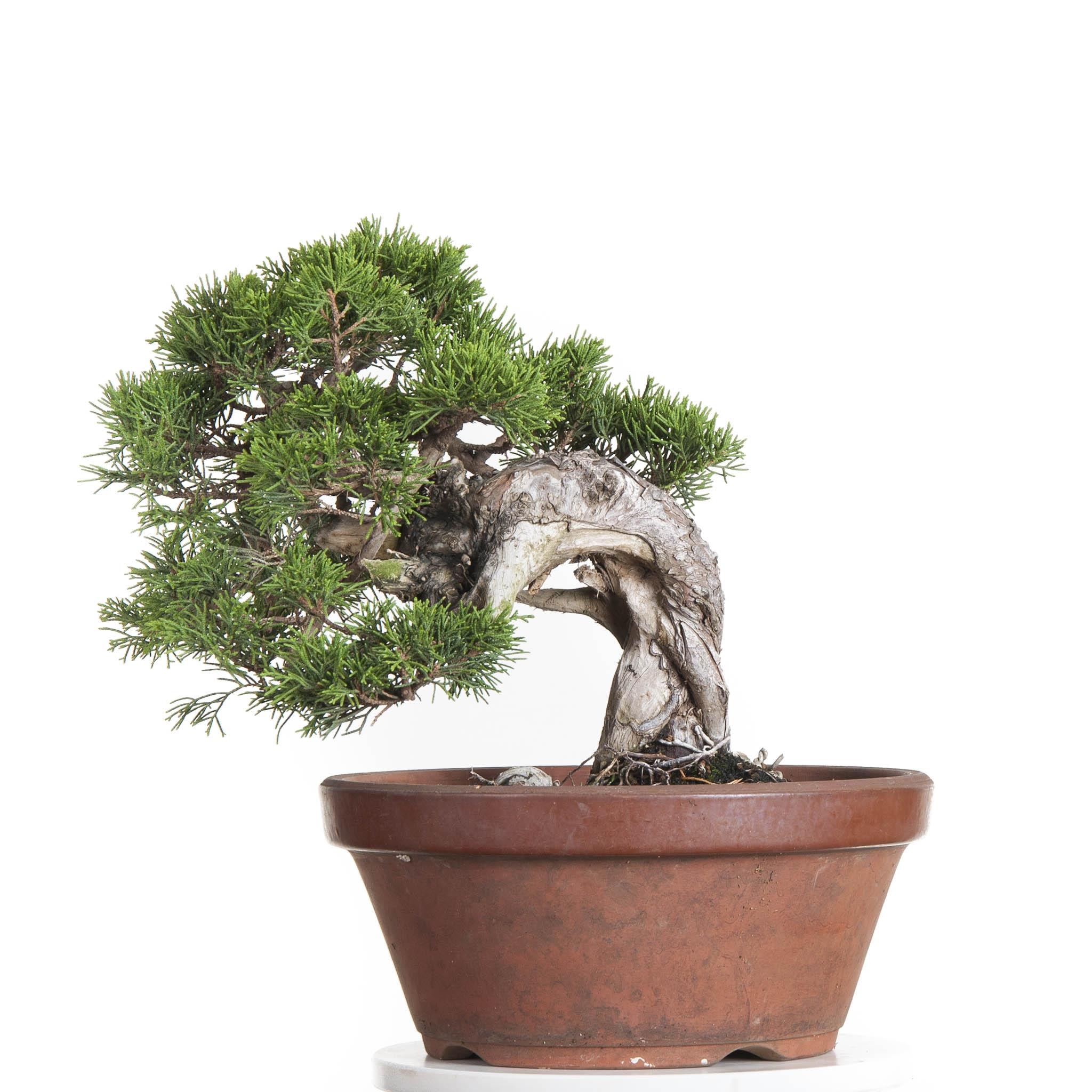 Juniperus Itoigawa
