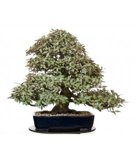 bonsai de Eleagnus Pungens