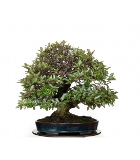 Bonsai de Eleagnus Pungens