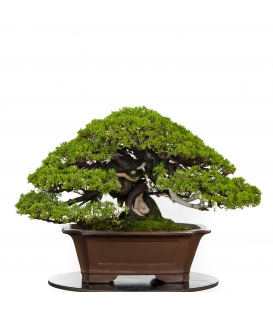 Bonsai de Junipero Itoigawa