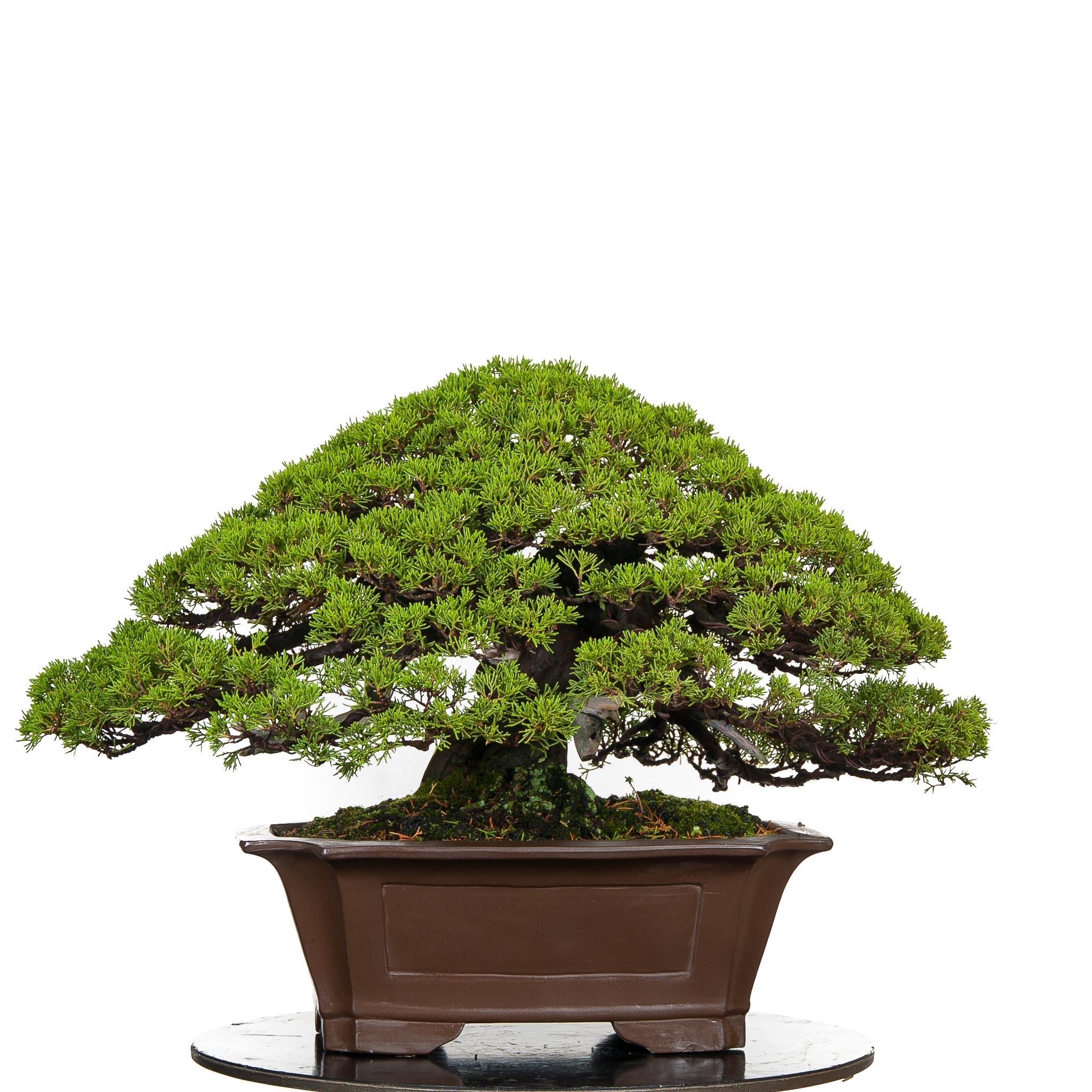 Bonsai de Junipero Itoigawa