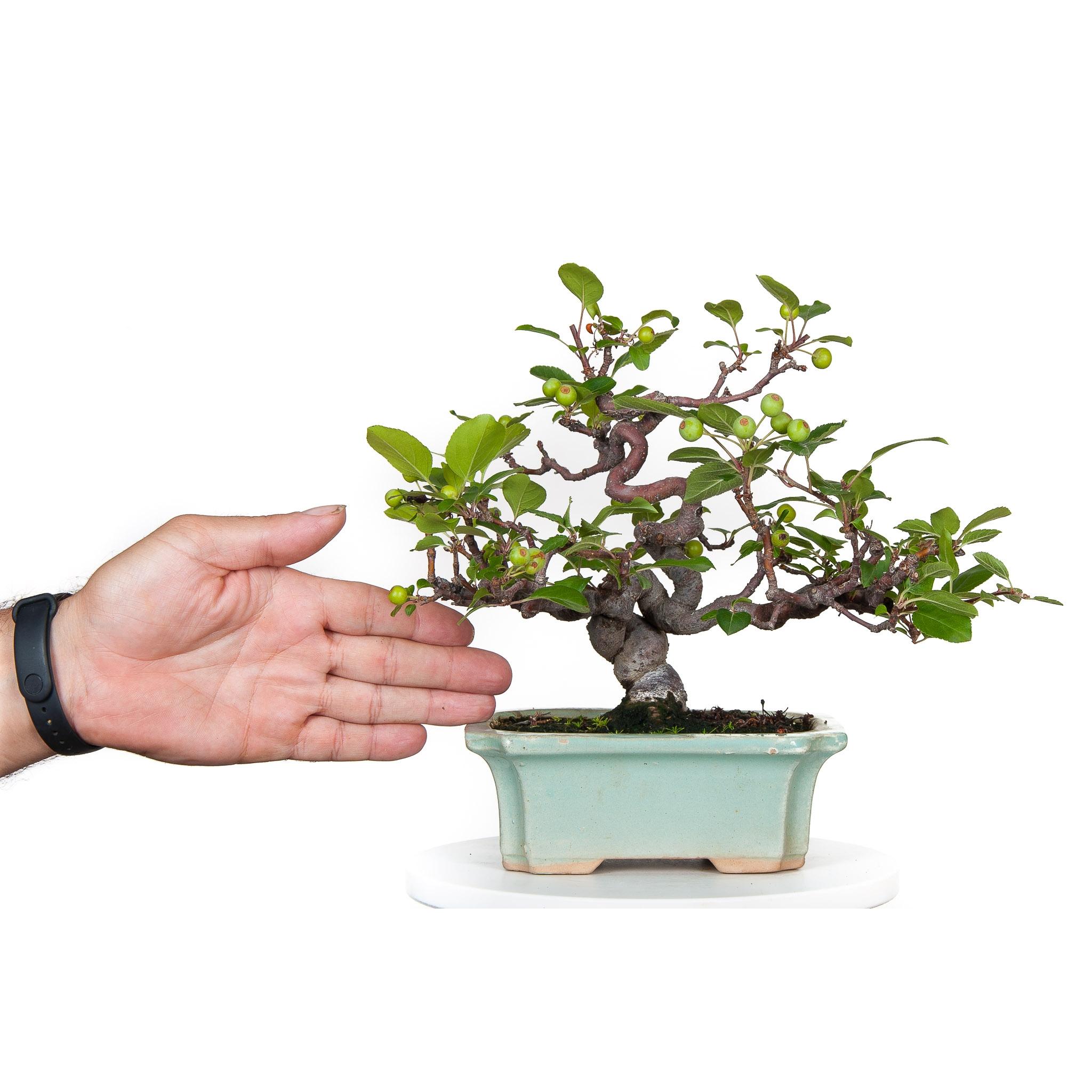 Bonsai de Manzano con fruto