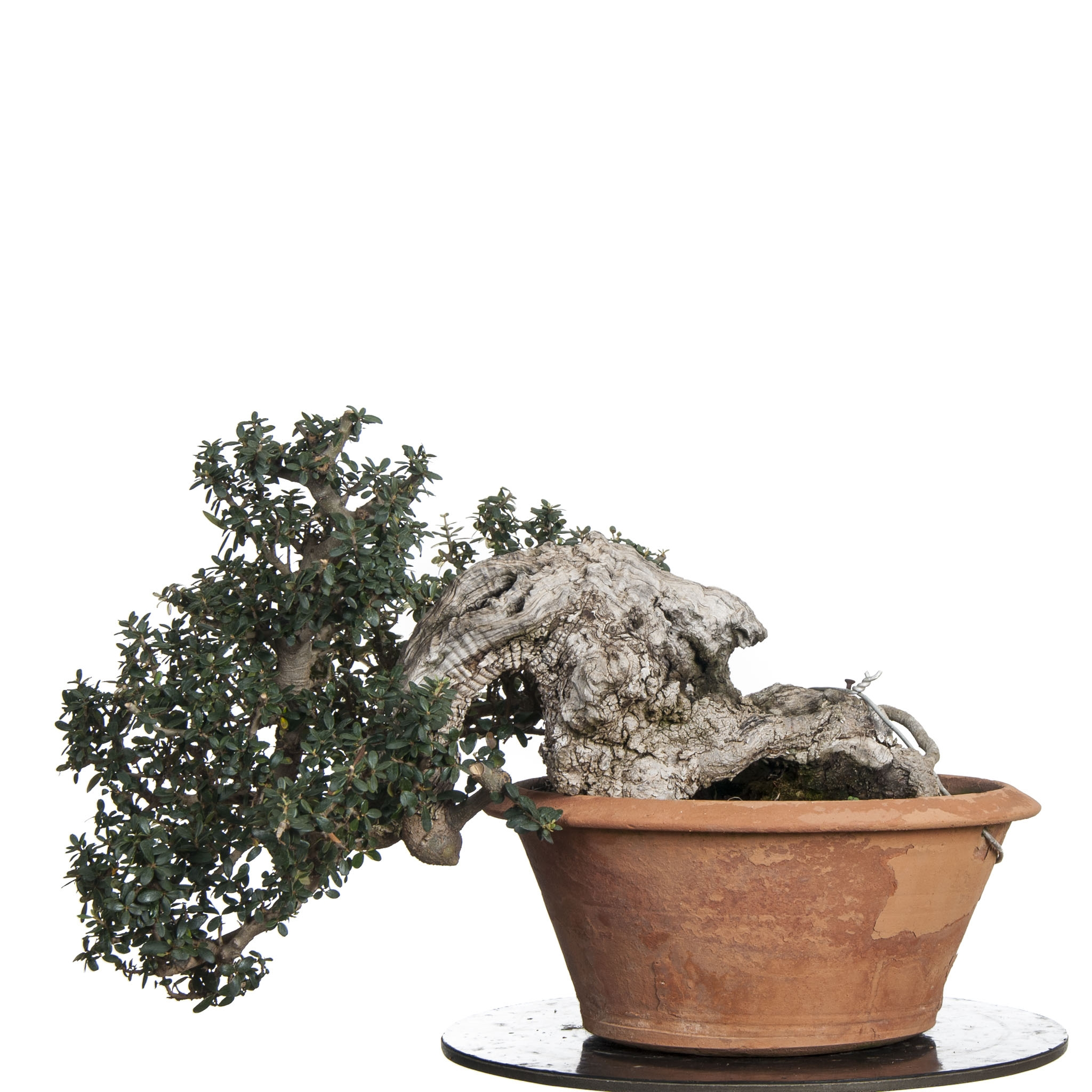 Bonsai ullastre Acebuche