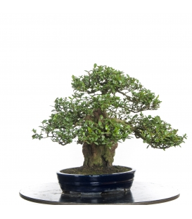 Bonsai de Mirto
