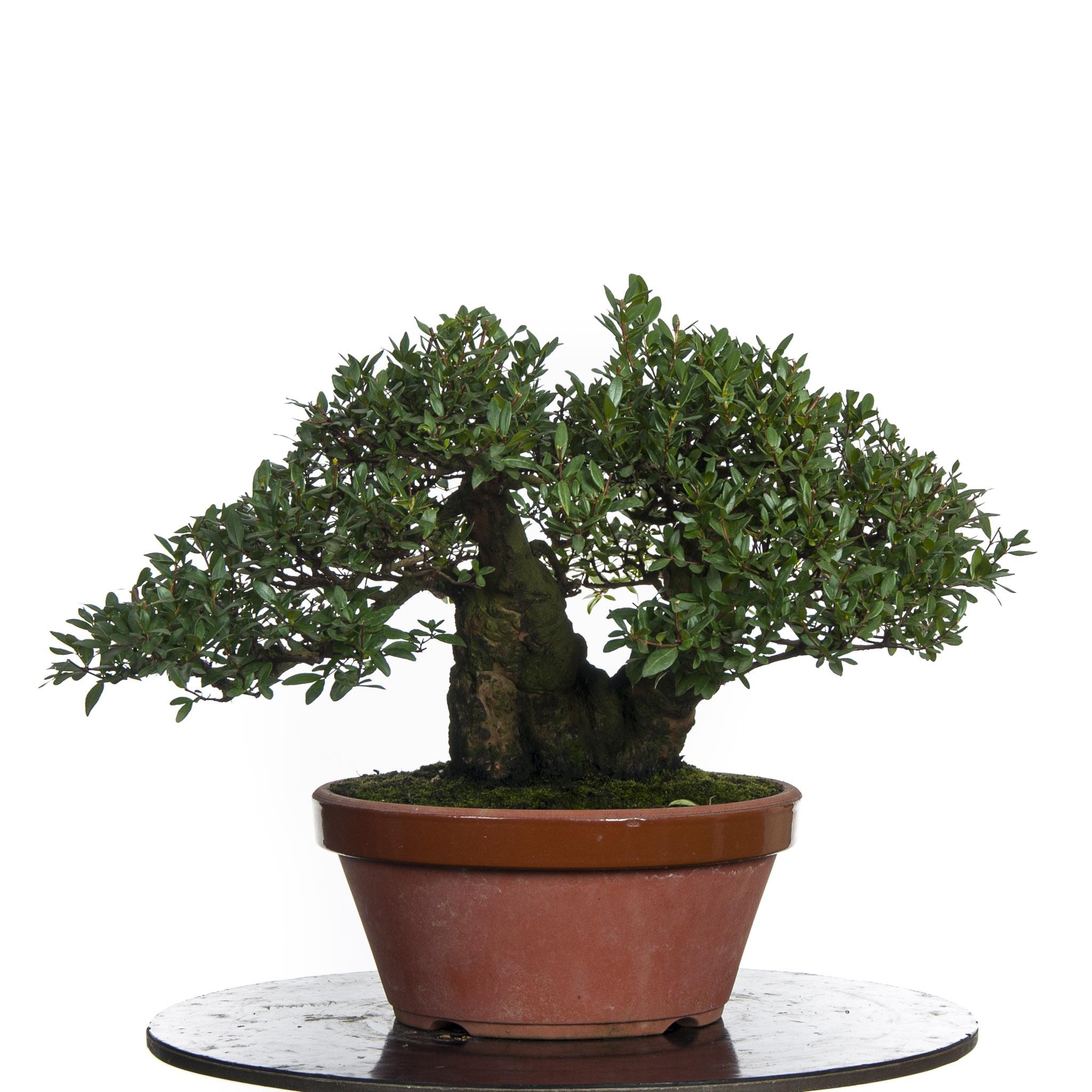 Myrtus