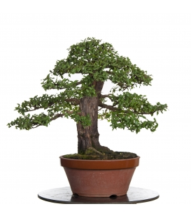 Prebonsai Mirto