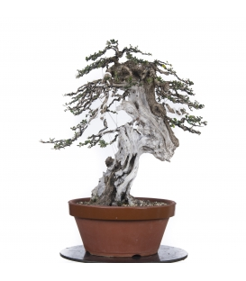 Bonsai Acebuche