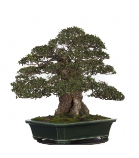 Bonsai Mirto