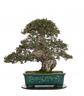 Bonsai Alcornoque