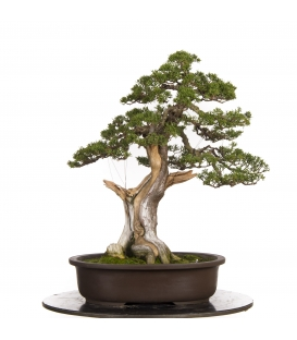 Bonsai Junipero Itoigawa