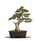 Bonsai Junipero Itoigawa