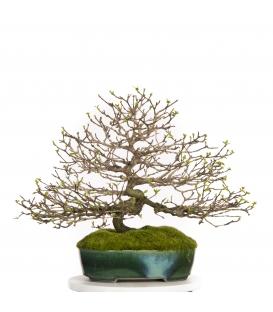 Bonsai Acer Nioi (Premna Japonica)