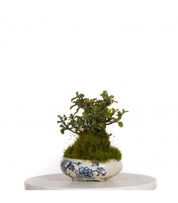Bonsai Chaenomeles Japonica