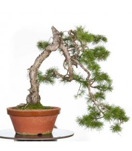 Pinus Sylvestris PR-SYL-004
