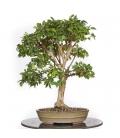 Syzygium Buxifolium 15M284