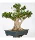 Ficus Panda 16M146